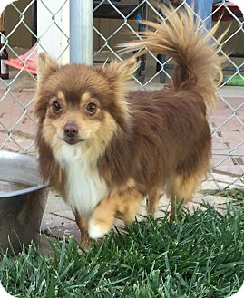Pomeranian/Papillon Mix Dog for adoption in Studio City, California - Denver