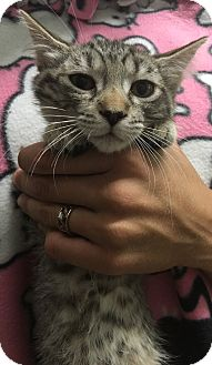 Domestic Shorthair Kitten for adoption in Oakdale, California - Anna
