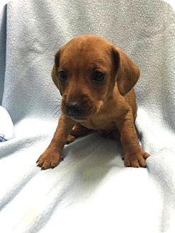 Chihuahua Mix Puppy for adoption in Savannah, Georgia - Nate