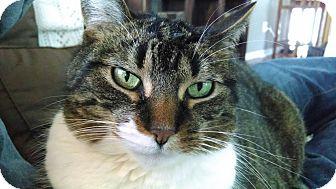 Domestic Shorthair Cat for adoption in Rochester, Minnesota - Robert