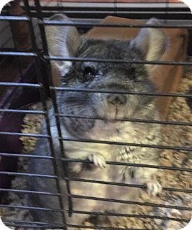 Chinchilla for adoption in Granby, Connecticut - Pearl