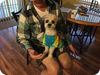 Miniature Poodle/Shih Tzu Mix Dog for adoption in Denver, Colorado - Rico