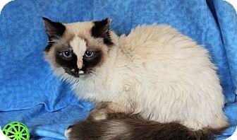 Ragdoll Cat for adoption in Greensboro, North Carolina - Aria