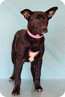 Labrador Retriever Mix Puppy for adoption in Waldorf, Maryland - Corporal