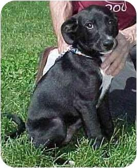 Labrador Retriever/Terrier (Unknown Type, Medium) Mix Puppy for adoption in North Judson, Indiana - Zip