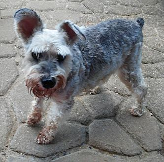 Miniature Schnauzer Dog for adoption in Sharonville, Ohio - May May