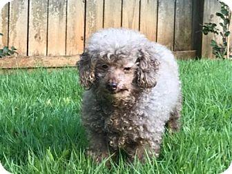 Toy Poodle Mix Dog for adoption in Alpharetta, Georgia - Jewelee