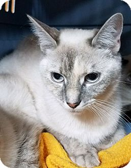 Siamese Cat for adoption in Rochester, Minnesota - Thaila