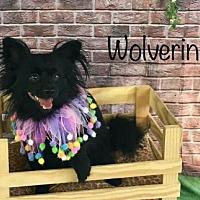 Adopt A Pet :: Wolverine - Dallas, TX