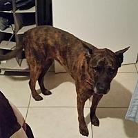 Adopt A Pet :: ZZ-Layla *courtesy post - Rancho Santa Margarita, CA