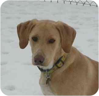 Hound (Unknown Type)/Labrador Retriever Mix Dog for adoption in HARRISONVILLE, Missouri - Dawson