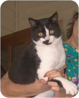 Domestic Shorthair Cat for adoption in Plaquemine, Louisiana - Louie