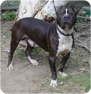 American Staffordshire Terrier/Pit Bull Terrier Mix Dog for adoption in Bellflower, California - Tahoe