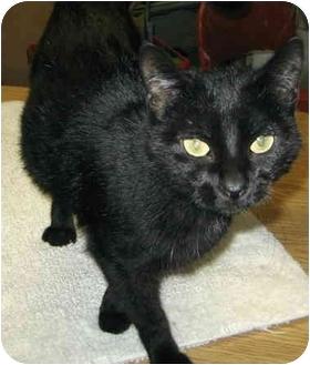 Domestic Shorthair Cat for adoption in Alden, Iowa - MC