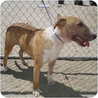 Bull Terrier Dog for adoption in Los Angeles, California - Summer