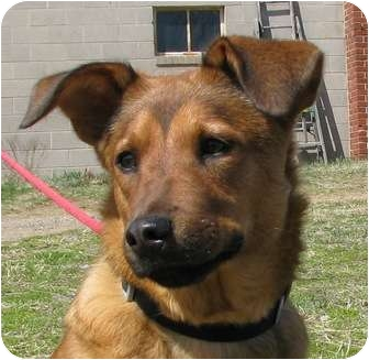 Shepherd (Unknown Type) Mix Dog for adoption in Bowie, Maryland - Rose