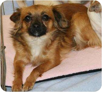 Chihuahua Dog for adoption in House Springs, Missouri - Serrin