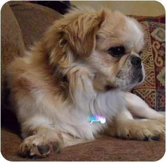 Pekingese Dog for adoption in Richmond, Virginia - Latte