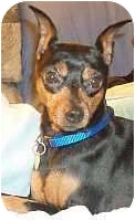 Miniature Pinscher Dog for adoption in Columbus, Ohio - Razzy
