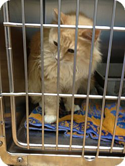 Domestic Mediumhair Cat for adoption in Ogden, Utah - Scarlet