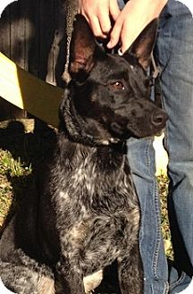 Blue Heeler Mix Dog for adoption in Schertz, Texas - Sam MD