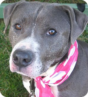 American Pit Bull Terrier/Labrador Retriever Mix Dog for adoption in Crescent City, California - Lucy