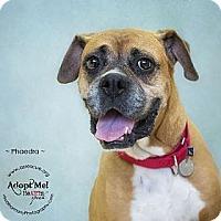 Adopt A Pet :: Phaedra - Phoenix, AZ