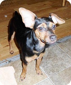 Miniature Pinscher Mix Dog for adoption in Umatilla, Florida - Babette
