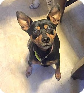 Miniature Pinscher Dog for adoption in Indianapolis, Indiana - Juno