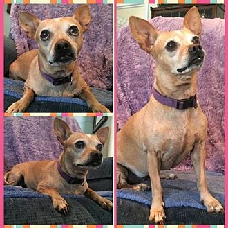 Chihuahua Mix Dog for adoption in Cherry Valley, California - Ginger