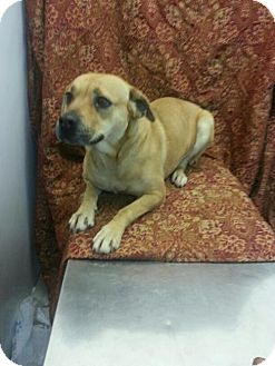 Staffordshire Bull Terrier/Boxer Mix Dog for adoption in Greenville, Kentucky - Dora