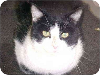 Domestic Shorthair Cat for adoption in Burnsville, North Carolina - Tommy