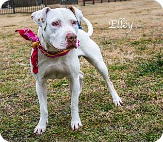 Pit Bull Terrier Mix Dog for adoption in Lancaster, Texas - Elley - URGENT