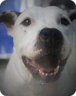 American Bulldog Mix Dog for adoption in Daytona Beach, Florida - Petey