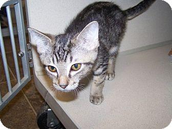 Domestic Shorthair Kitten for adoption in DeLand, Florida - Stetson Stormdrain