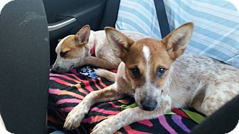 Australian Cattle Dog Puppy for adoption in Lebanon, Connecticut - Becky