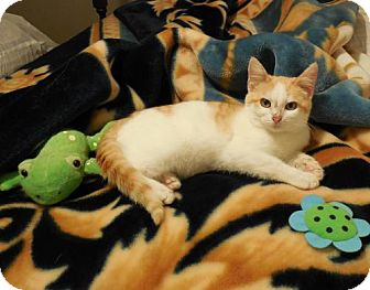 Domestic Shorthair Cat for adoption in San Antonio, Texas - Carter