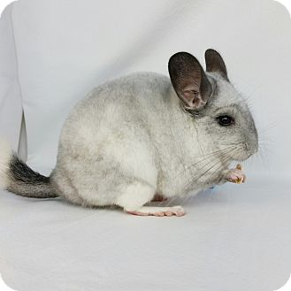 Chinchilla for adoption in AUGUSTA, Maine - Lavender