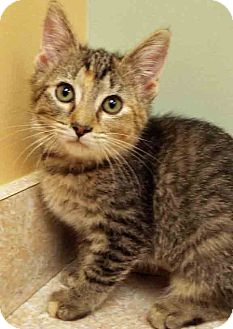 Domestic Shorthair Kitten for adoption in Hinsdale, Illinois - ADOPTED!!!   Georgia