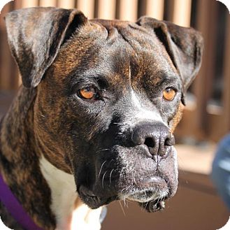Boxer Dog for adoption in Denver, Colorado - Luna