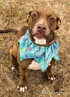 Labrador Retriever/Pointer Mix Dog for adoption in Warner Robins, Georgia - Ava