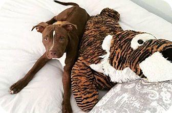 American Pit Bull Terrier Mix Dog for adoption in Scottsdale, Arizona - Sunny (Courtesy Posting)