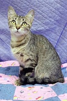 Domestic Shorthair Cat for adoption in South Bend, Indiana - Sol
