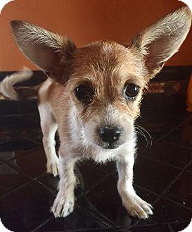 Parson Russell Terrier/Dachshund Mix Puppy for adoption in Santa Ana, California - Havana