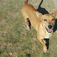Adopt A Pet :: Hadley - Las Cruces, NM