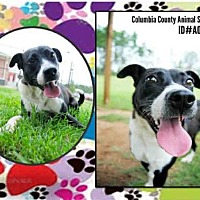 Adopt A Pet :: A080832 - Grovetown, GA