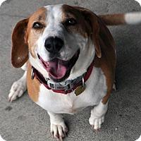 Adopt A Pet :: Scarlet - Fairfax Station, VA