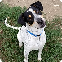 Pointer Mix Dog for adoption in Indianola, Iowa - Guss