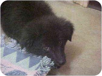 Border Collie Mix Puppy for adoption in Burnsville, North Carolina - Soupie