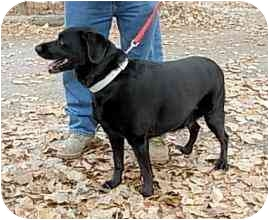 Labrador Retriever Mix Dog for adoption in YERINGTON, Nevada - SHADOW